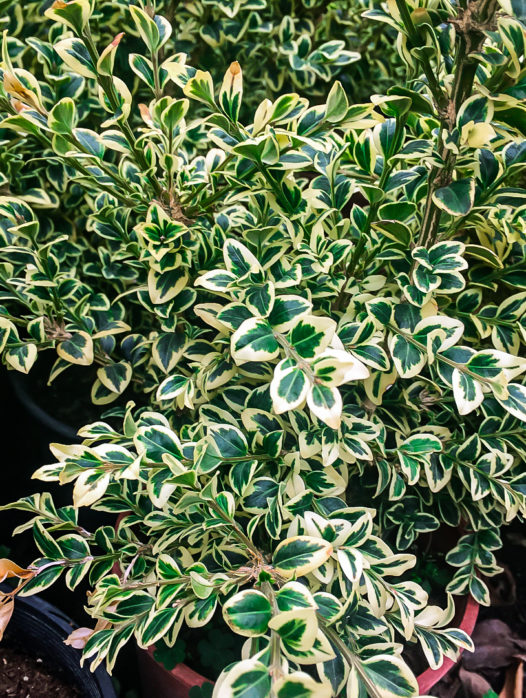 Variegated Boxwood