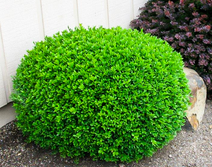 boxwood bushes for sale