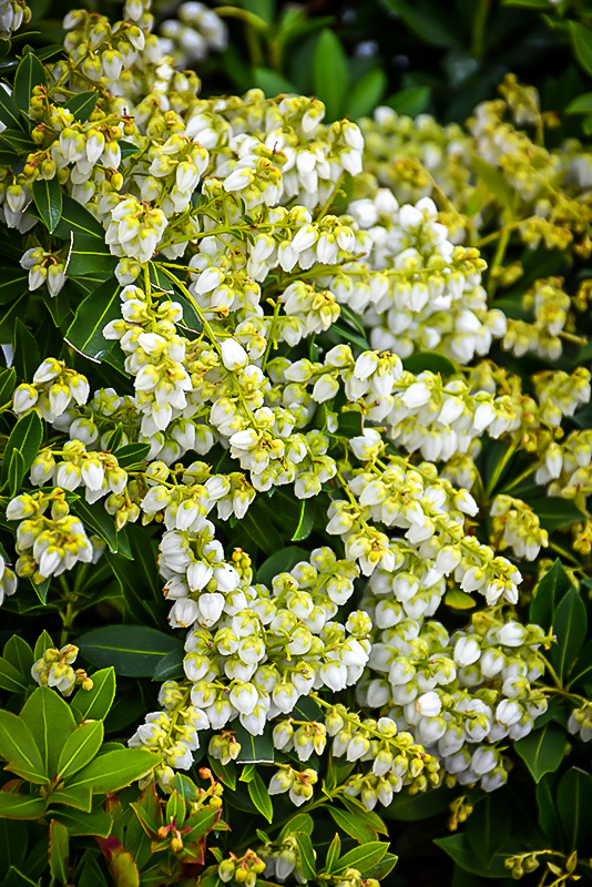 Cavatine Pieris For Sale Online The Tree Center
