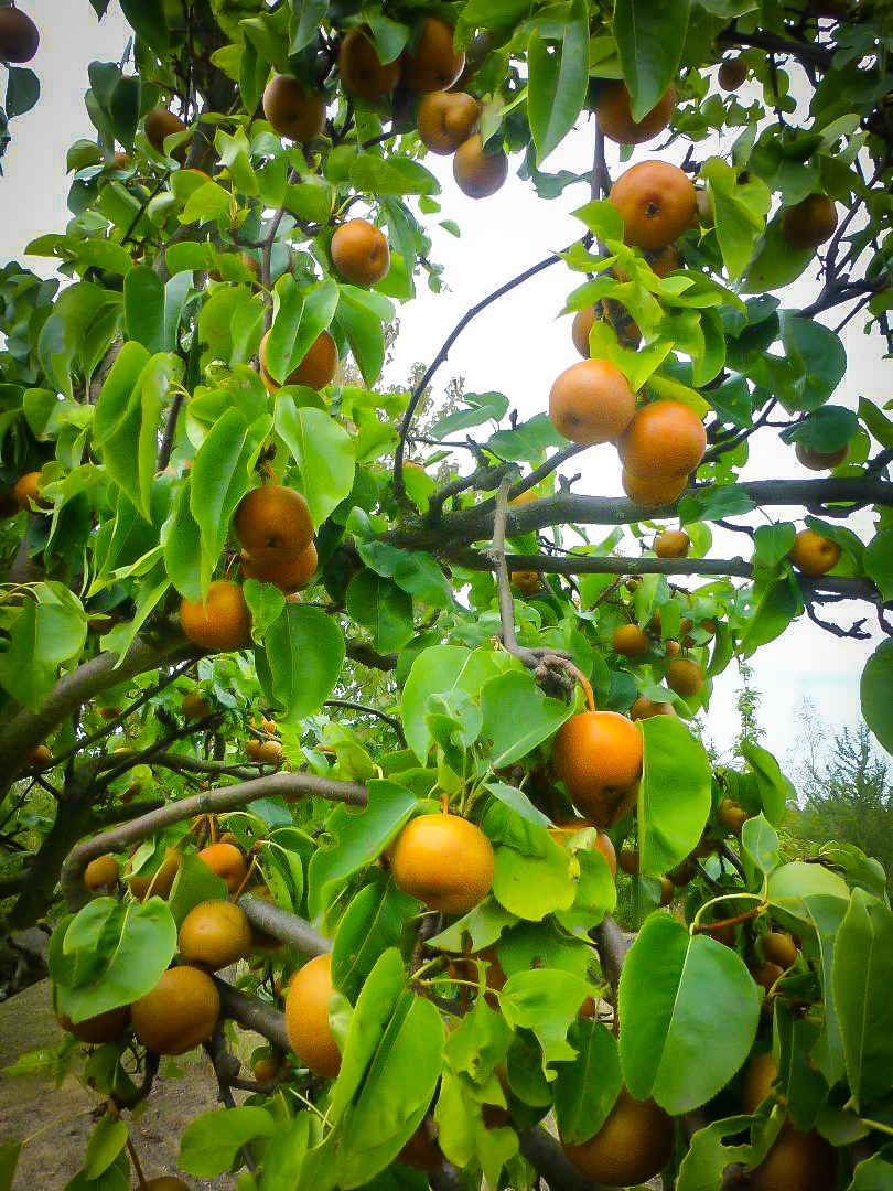 Chojuro Asian Pear Trees For Sale Online The Tree Center