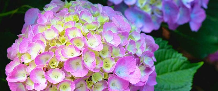 Everything You Need to Know about Cityline® Hydrangeas