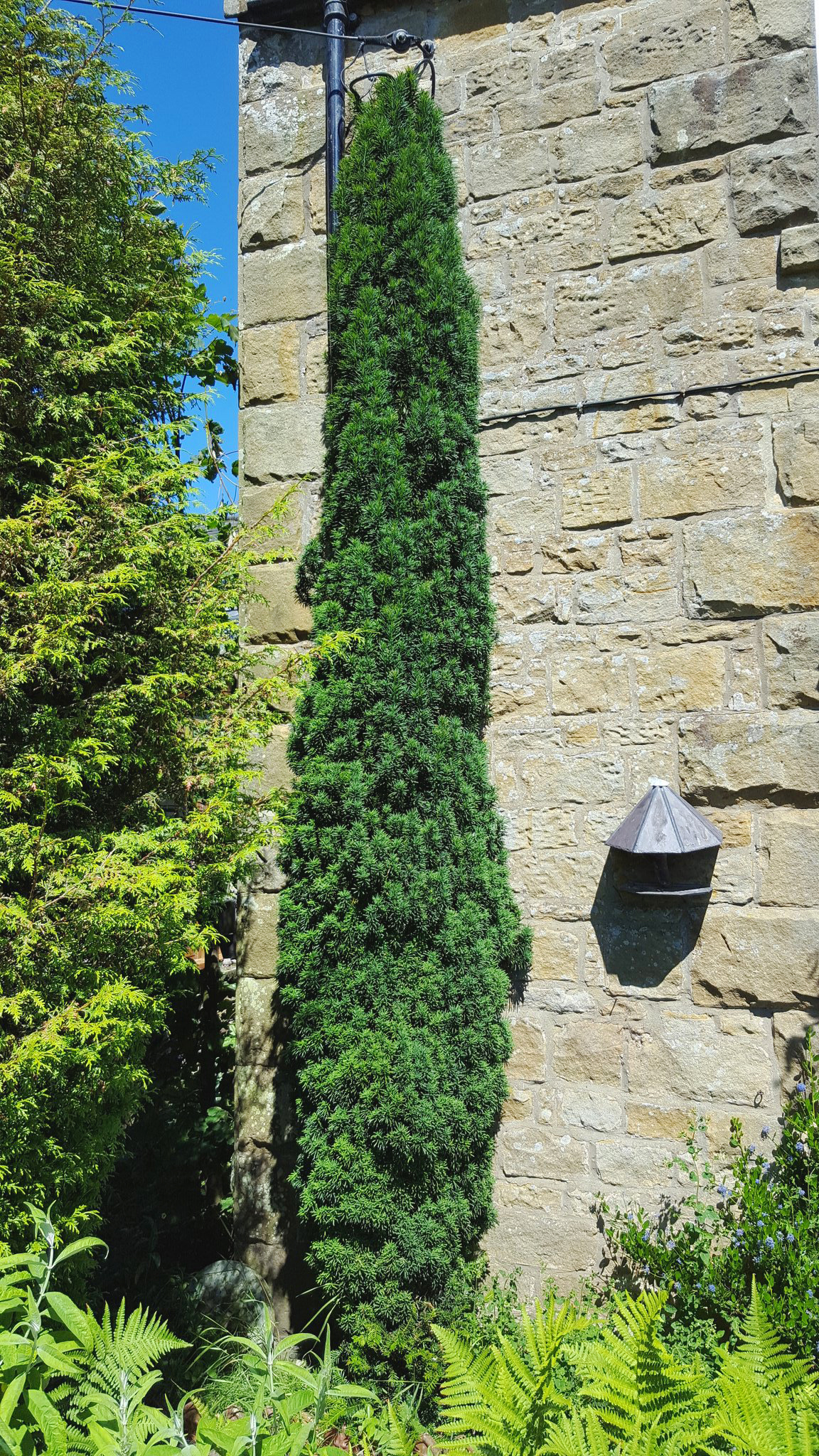 Columnar English Yew Trees For Sale The Tree Center