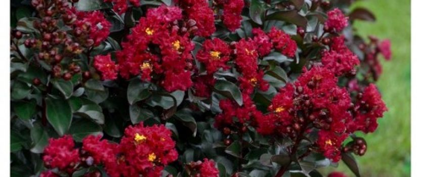 Black-Leaf Crape Myrtles – A New Look For An Old Favorite
