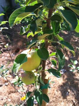 Dorsett Southern Apple Tree