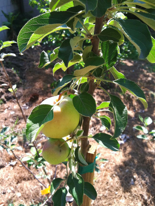Dorsett Southern Apple Tree