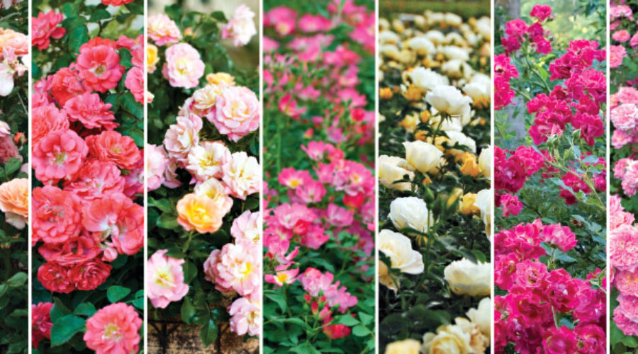 Understand the Many Types of Roses