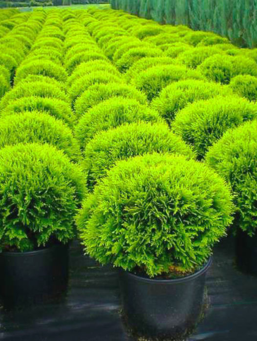 Cryptomeria Trees For Sale Japanese Cedar Trees The Tree Center