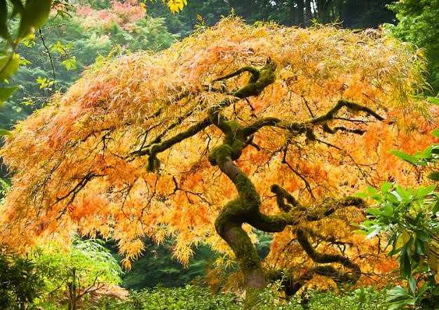 Japanese Maples For Fall Color The Tree Center