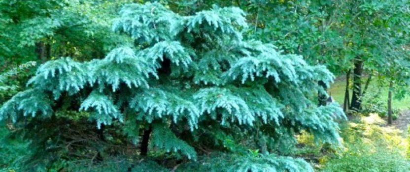 Meet the True Cedars – the Genus Cedrus