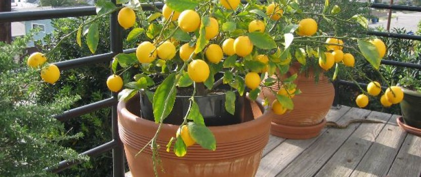 Growing Citrus Trees in Containers