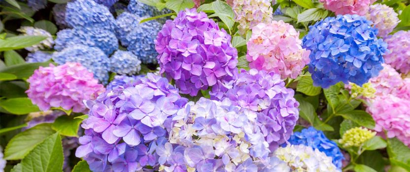 Hydrangea – Queen of the Shade