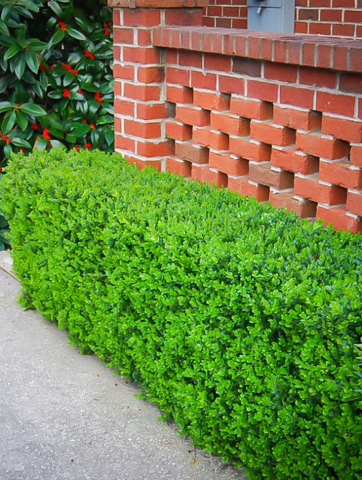 Japanese Littleleaf Boxwood