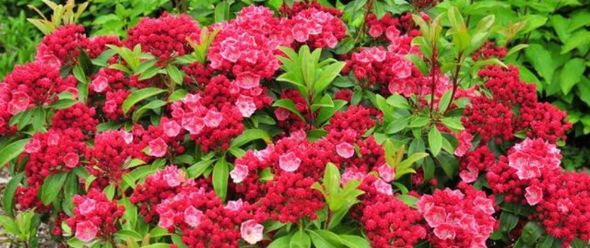 Th Taming of the Mountain Laurel