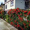 Mohave Pyracantha On A Fence