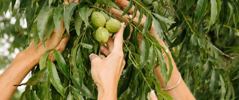 Nuts About Pecans? – Then Grow Your Own