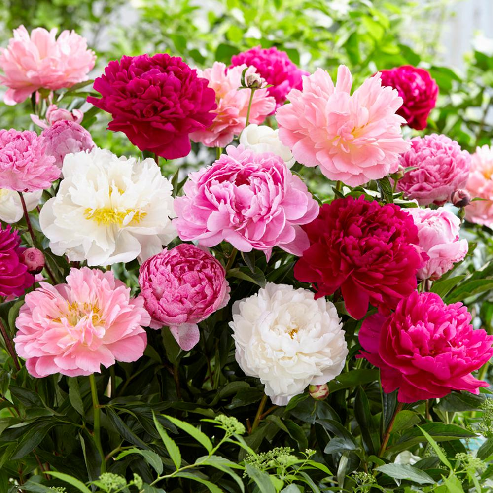 Growing Peonies The Belles Of The Northern Garden The Tree Center