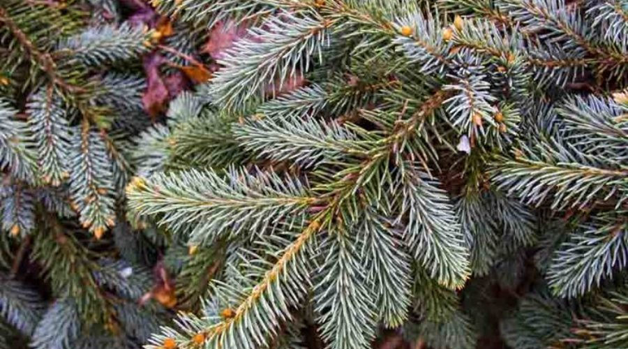 Which Spruce Tree Should I Plant?