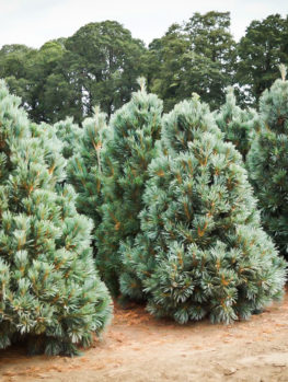 Vanderwolfs Pyramid Limber Pine