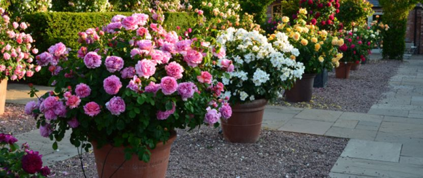 Flowering Shrubs for Planters and Boxes