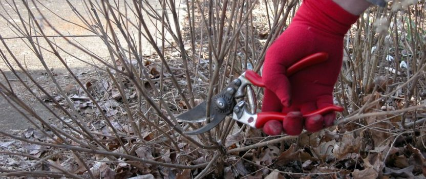What Shrubs Should be Pruned in Spring?