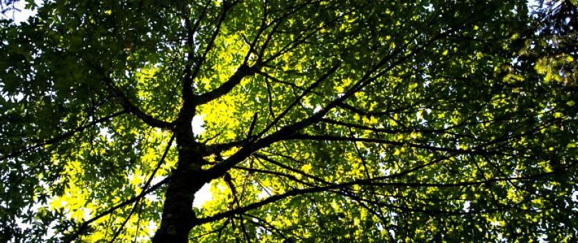 Native Trees For Natural Shade