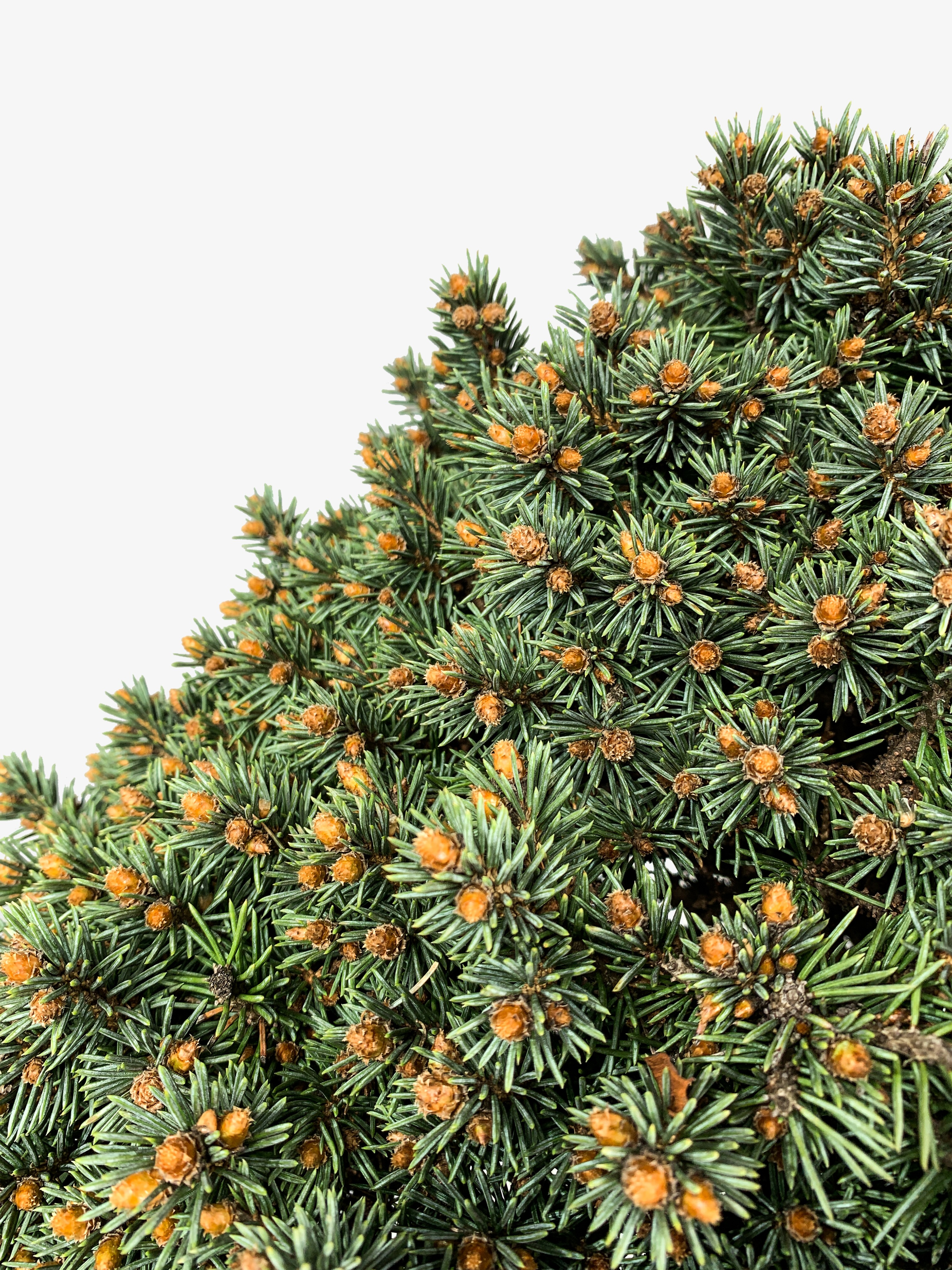 Dwarf Blue Pearl Colorado Spruce Trees For Sale The Tree