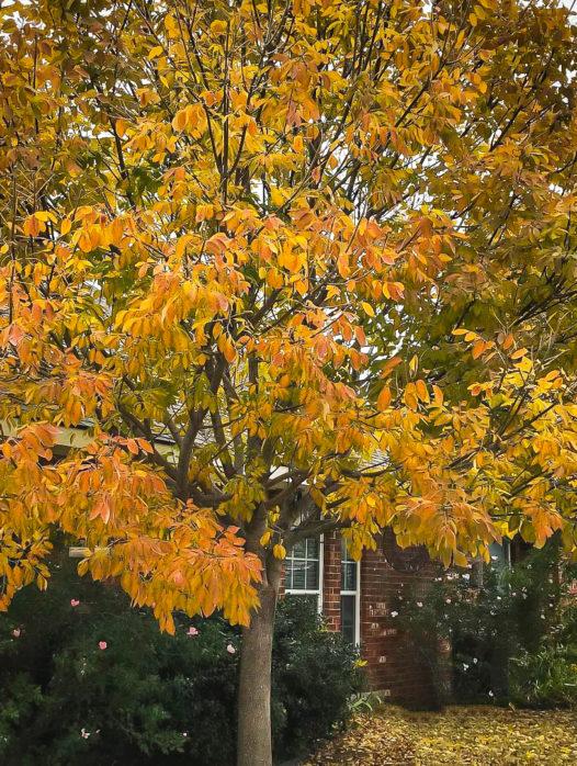 Texas Ash Tree