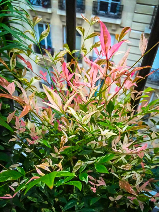 Twilight Nandina