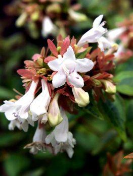 Abelia Shrubs For Sale Buy Abelia Plants The Tree Center