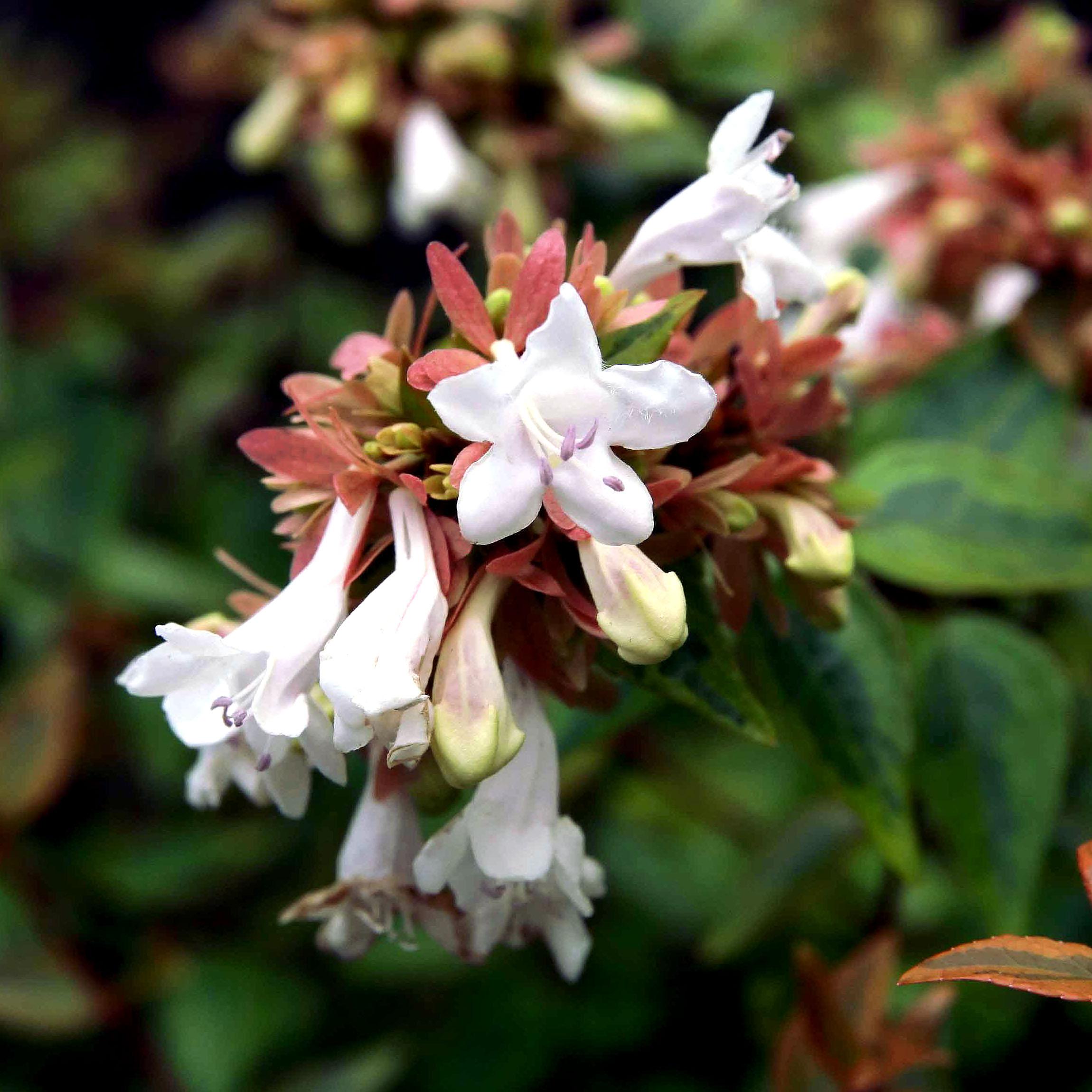 Kaleidoscope Abelia Shrubs For Sale The Tree Center