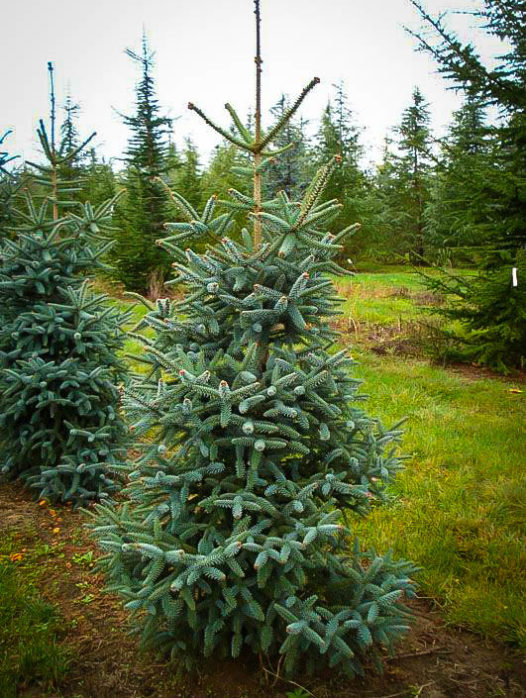 Blue Spanish Fir