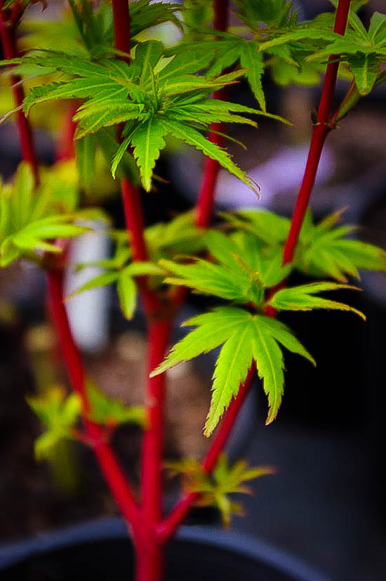 Pacific Fire Vine Maple For Sale Online The Tree Center