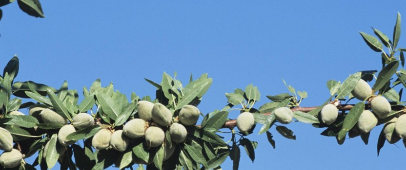 Do Almonds Grow On Trees?