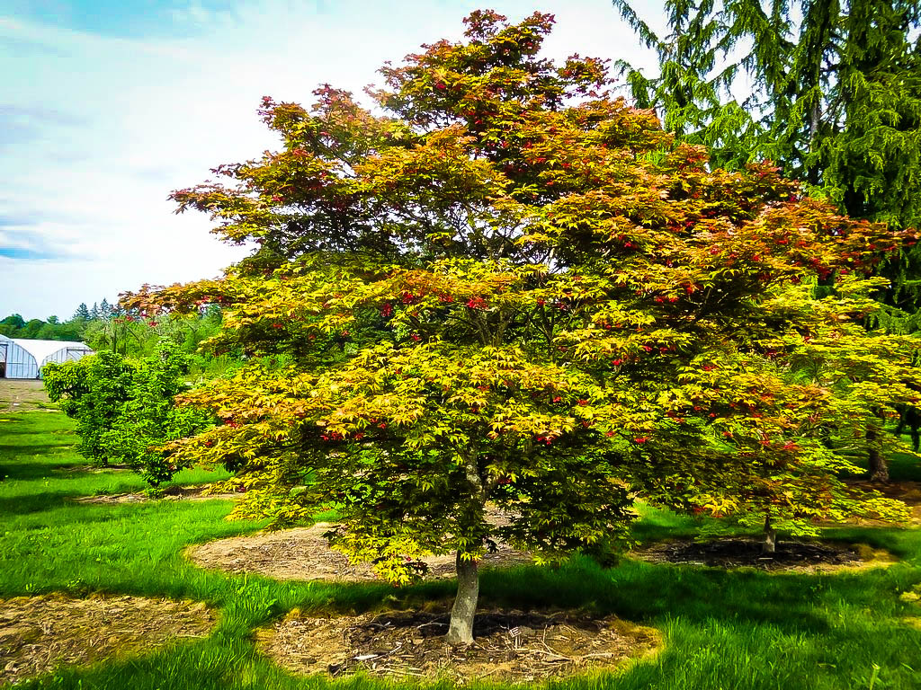 Amber Ghost Japanese Maple Trees For Sale The Tree Center