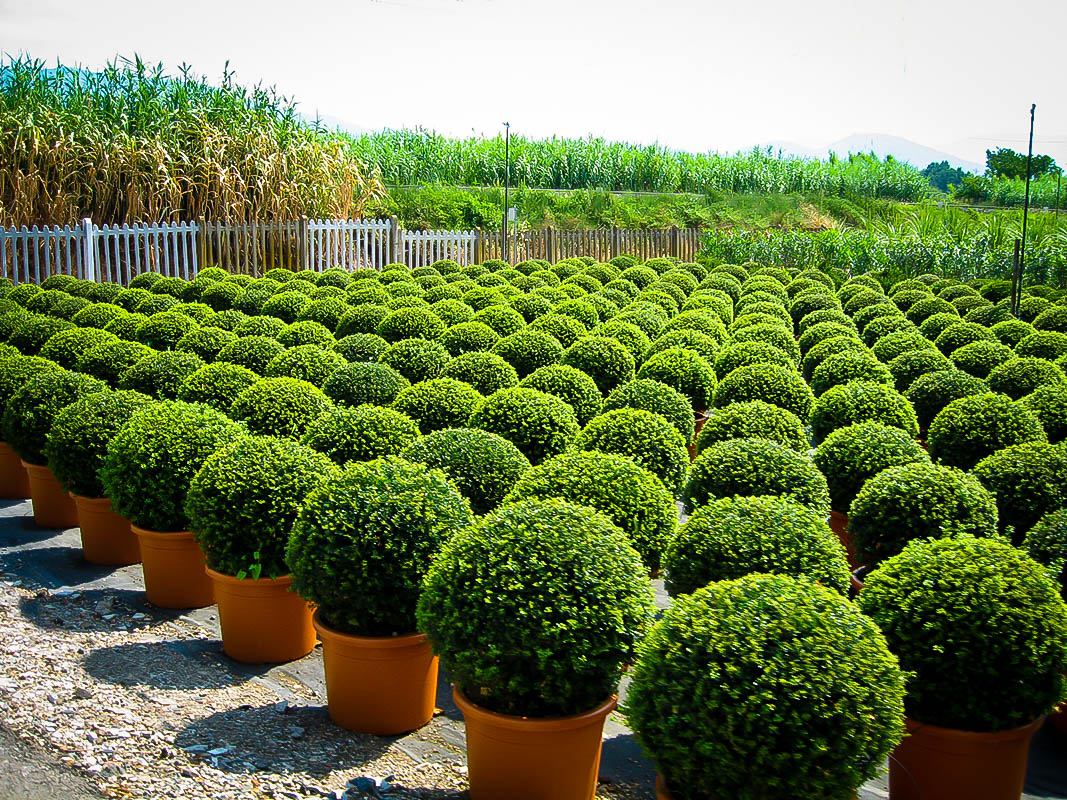 """Image result for boxwood"""""""