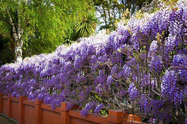Amethyst Falls Wisteria For Sale The Tree Center