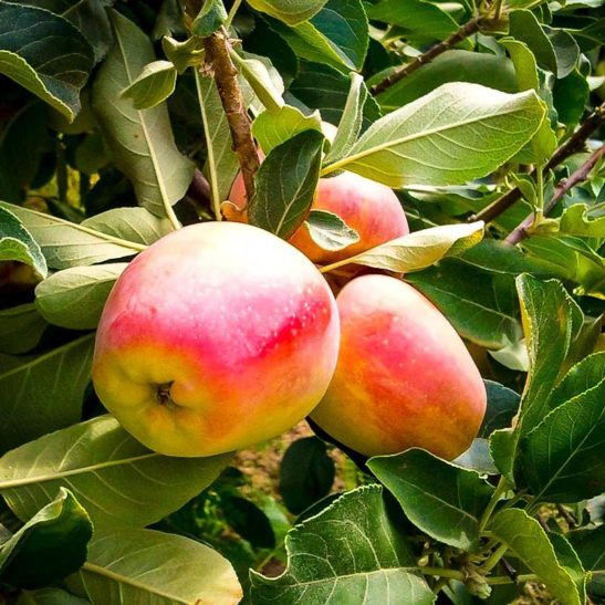 Anna Southern Apple Tree Apples