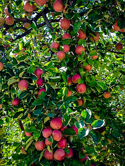 Stayman Apple Tree