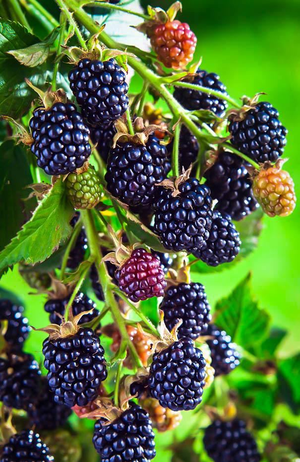 Arapaho Thornless Blackberry Bushes For Sale The Tree Center