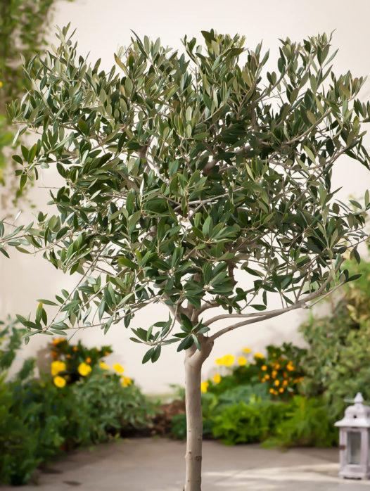 Arbequina Olive Tree