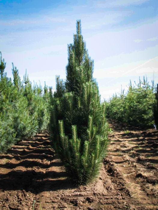 Arnold Sentinel Austrian Pine