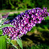 Asian Moon Butterfly Bush Flower