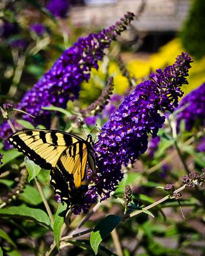 Asian Moon Butterfly Bush