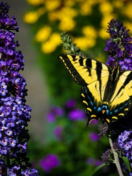 Black Knight Butterfly Bush For Sale The Tree Center