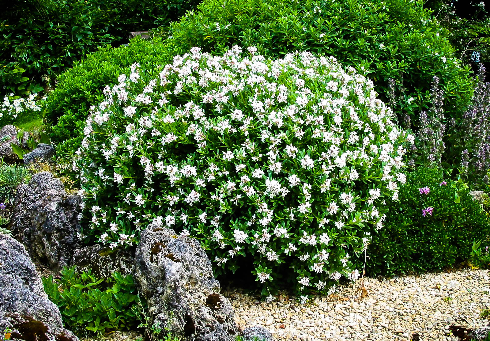 3 Gallon Gardenia blooming white flower plant- Shrub hedge Live