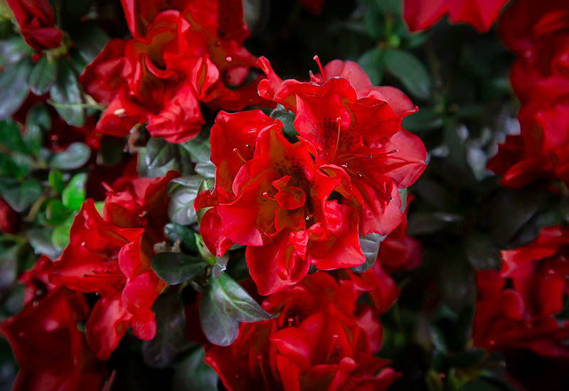 Autumn Fire Encore Azaleas For Sale Online The Tree Center