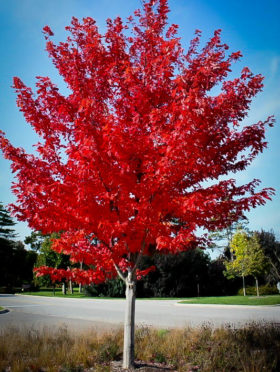 Autumn Flame Red Maple Tree