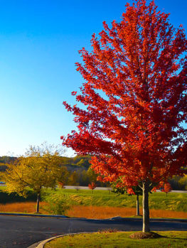 Autumn Flame Red Maple