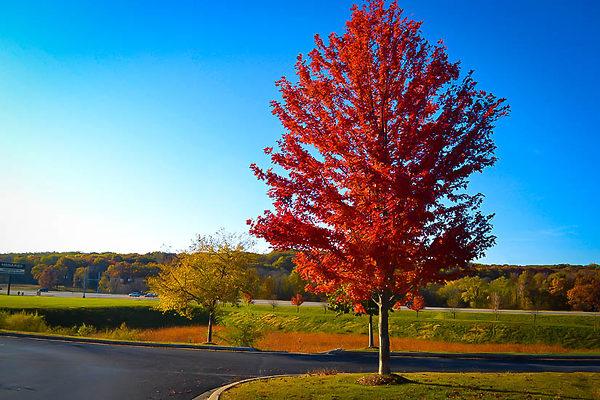 Autumn Flame Maple