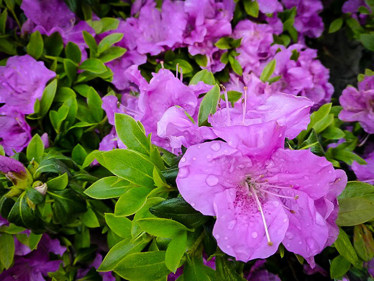 Autumn Lilac Encore Azalea Shrub